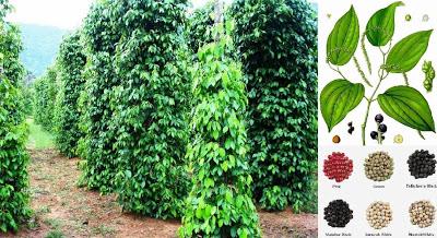 Black Pepper Farming Business